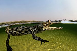 Brave Photographer Gets Up Close With 15 ft Crocodiles In Botswana