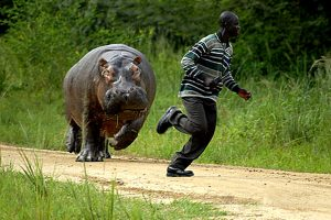 hippo-chase-pic-charles-hotham-371803949