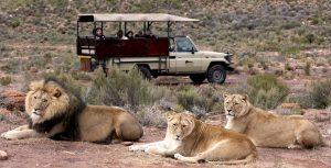 lion_safari